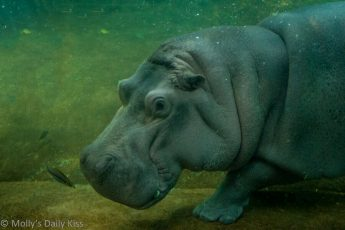 Hippo underwater Camden Aquariam