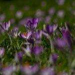 Sea of purple crocus signs of Spring life
