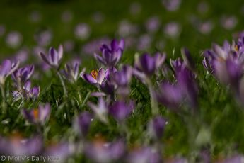 Sea of purple crocus signs of Spring life