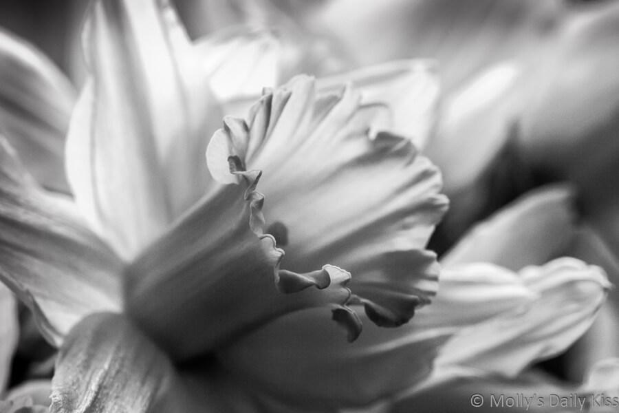 Black and White of daffodil