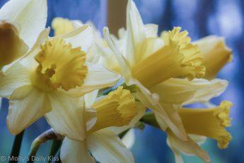 Daffodils in the window