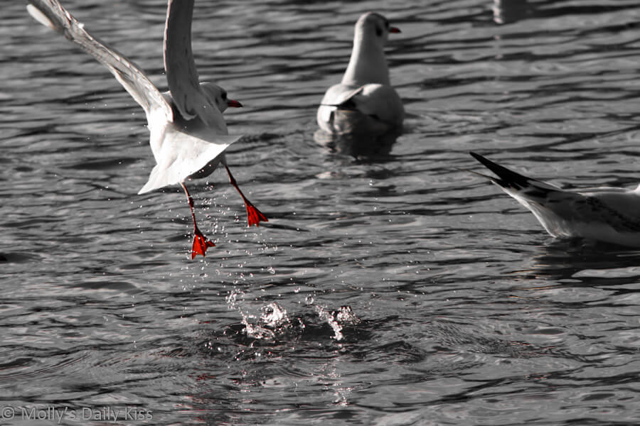 Gull taking flight from water
