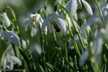 Bee in Snowdrops