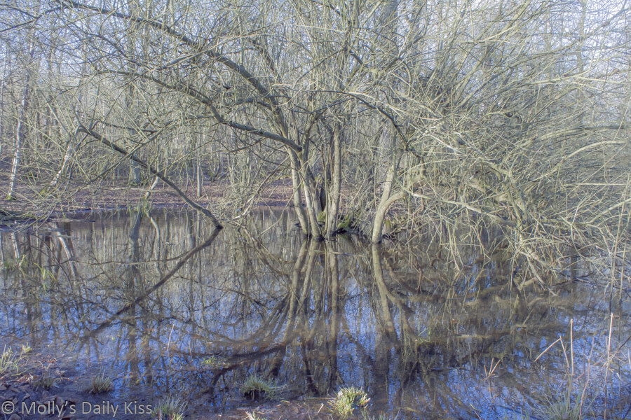 Winter trees reflected in woodland pond