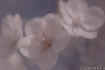 White spring blossom soft focus