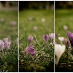 Tryptich of Spring arose crocus