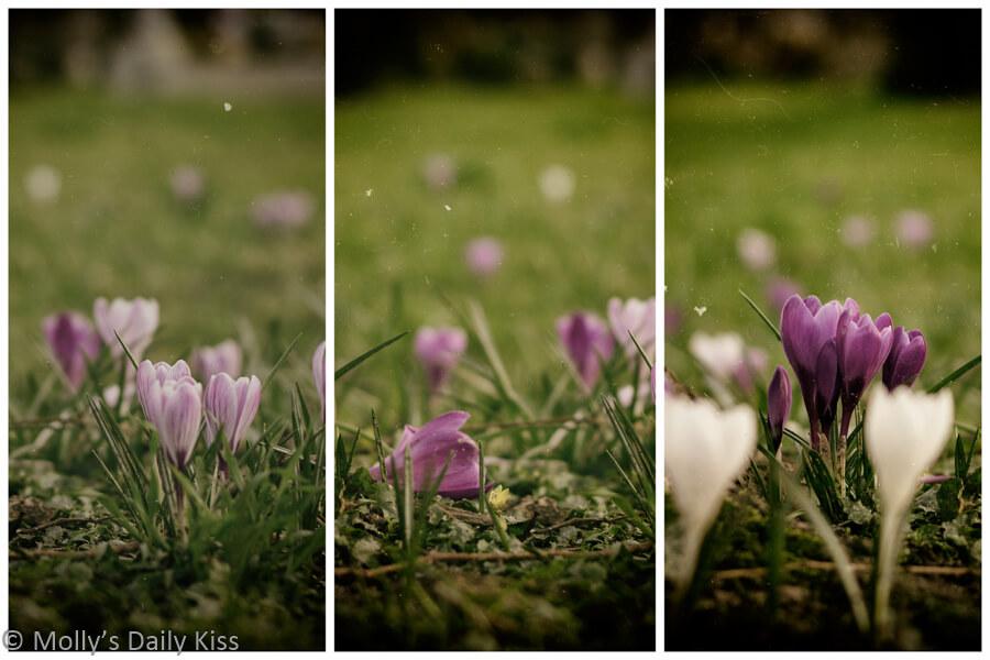 Tryptich of Spring arose crocus