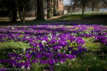 Sunshine on crocus spring medicine