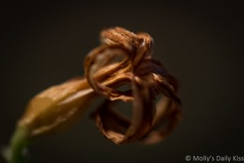 Hyacinth flower faded in decay macro shot