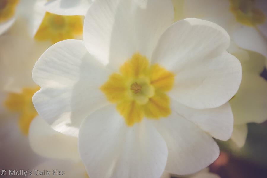 White primrose flower spring