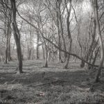 Lost in Spring Woodland in muted colours with bare branch trees