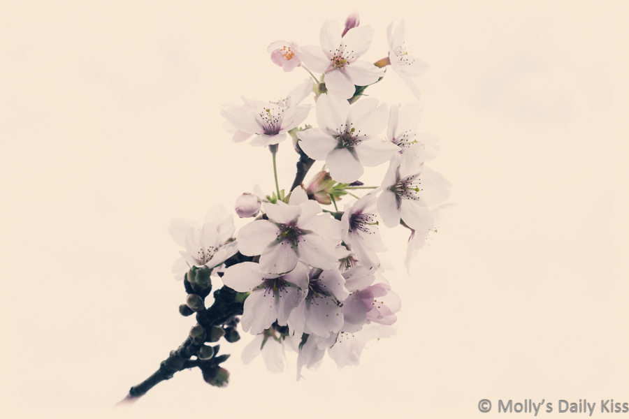 White tree blossom spring with vintage edit fragility
