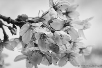 Black and White edit of cherry tree blossom april month