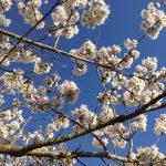 White blossom against blue skies