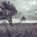 Wind swept tree Devils dyke brighton