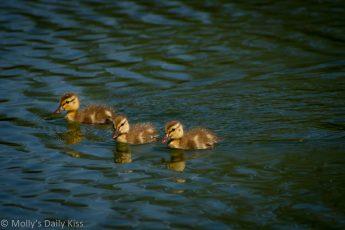 three little ducks reflected in water