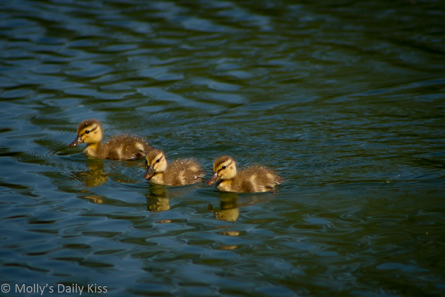 three little ducks reflected in water