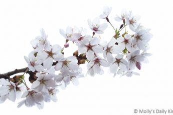 Spring frothy blossom against white sky