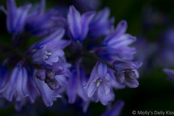 Macro shot of bluebells