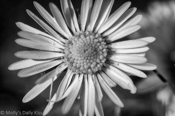 macro shot of delightful daisy in black and white