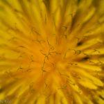 Yellow dandelion flower weed in the garden