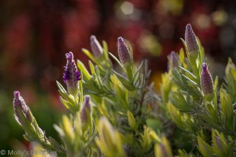 Lavender bonnet flower in sunlight