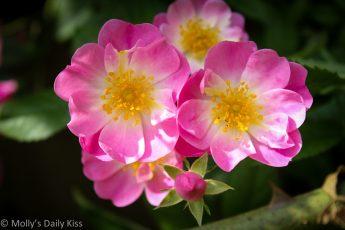 wild rose blooms for joy
