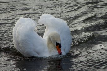 mating male swan display