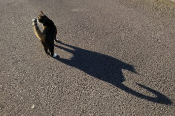 Cat with large shadow on the pavement of superior cat Mr Wawa