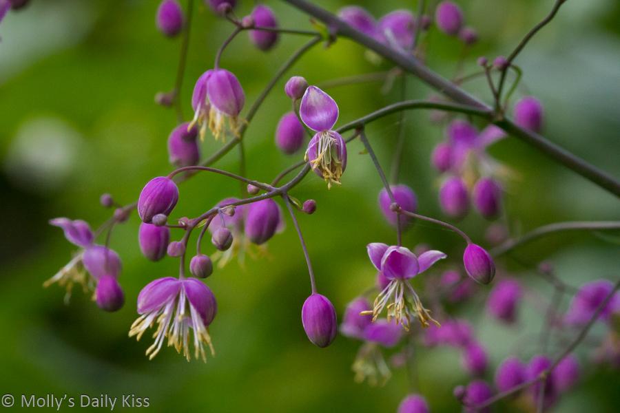 Tiny purple bell like flowers birthday wishes for Mum