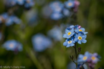 True Blue forget me not flowers