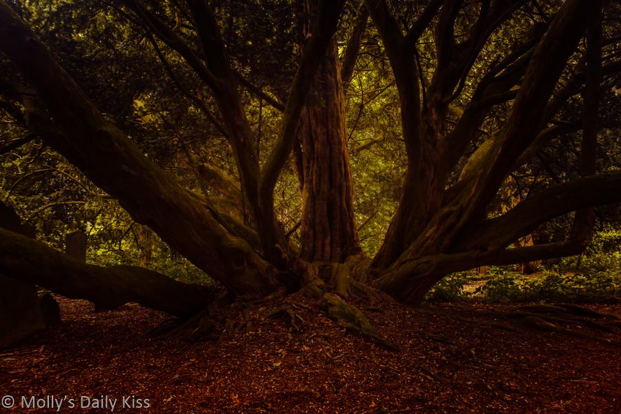 beauty Yew tree in graveyard