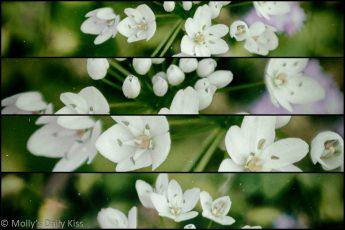 Little white allium bloom in quadtych