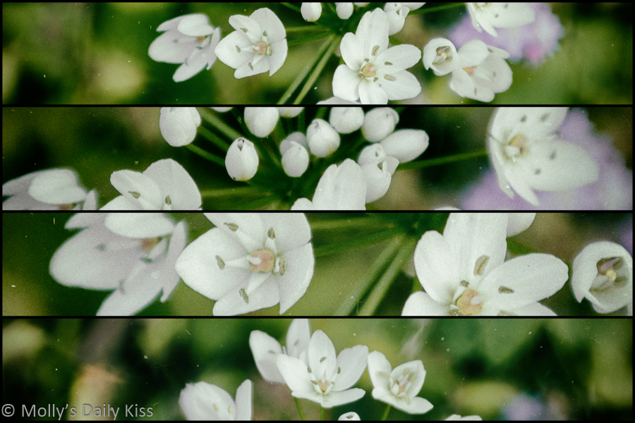 Little white allium bloom in quadtych