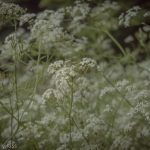 fields of Cow parsley are gentle summer