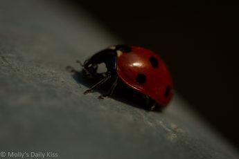 Macro shot of Lady ladybird ladybug