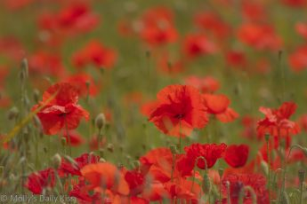 Red poppies in a field summer