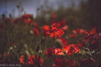 Wild red poppy in sunlight field