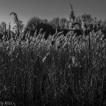 water reeds in summer sensation light black and white