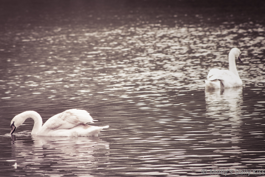 pair of swans wasting time gliding on water