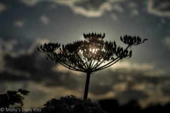 evening Sunset through Cow Parsley