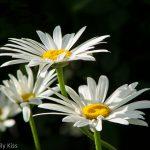 lovely White oxeye daisys