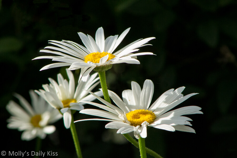 lovely White oxeye daisys