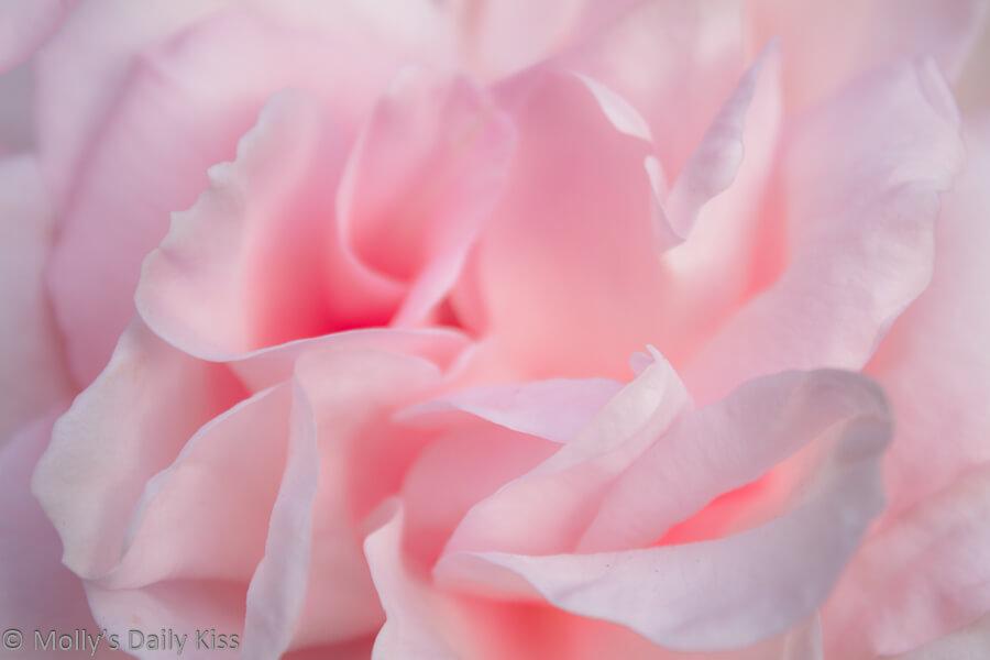 pink rose petals smell sweet