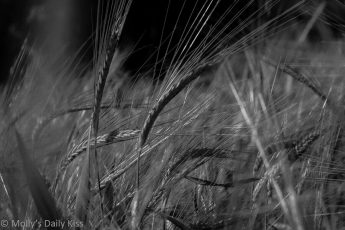 Ears of wheat in black and white