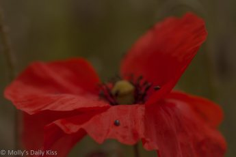 Red wild poppy spread with bugs on