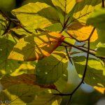Leaves turning an autumn September colour