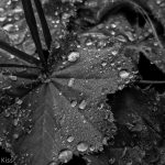 Dew drops on plant in black and white