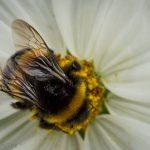 macro of bee of white flower