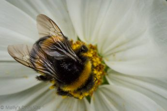 macro of bee of white flower